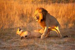 förbunden lionen Arkivbilder