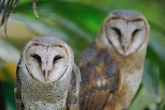 förbunden owlen Royaltyfria Foton