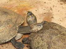 förbunden sköldpaddor Arkivfoton