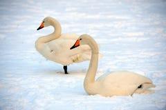 förbunden swanwhite Royaltyfria Bilder