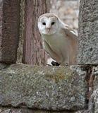 fördärvad kyrklig owl för ladugård Arkivfoton