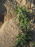 Fördelande växter i sandig jord Arkivbild