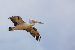 Fördelande vingar för australisk pelikan i flykten Royaltyfria Foton