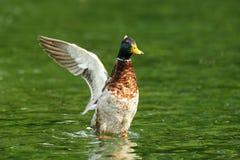 Fördelande vingar för gräsandand på dammet royaltyfria foton