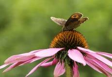 Fördelande vingar för grindvaktarefjäril Royaltyfri Fotografi