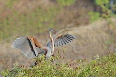 Fördelande vingar för purpurfärgad häger Fotografering för Bildbyråer