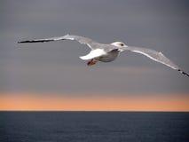 fördelande vingar för seagull Royaltyfri Foto