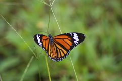 Fördelning för monarkfjäril royaltyfria foton
