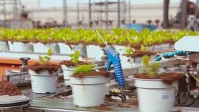 Fördererlinie in einem modernen Gewächshaus, Gewächshaus mit einem automatisierten Förderer, Blumen in den Töpfen auf einem Förde stock footage