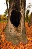 Fördjupning i ett gammalt träd Arkivfoto