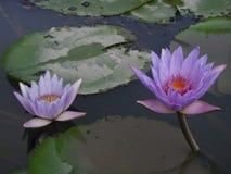 fördubbla lotusblomma fotografering för bildbyråer