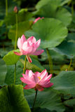 fördubbla lotusblomma Royaltyfri Fotografi