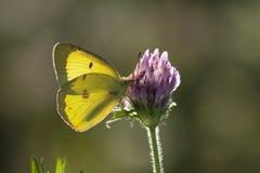 Fördunklad gul Sulphur på purpurfärgad växt av släktet Trifolium Arkivbild