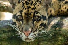 fördunklad leopard arkivbilder