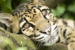 fördunklad leopard Arkivbild