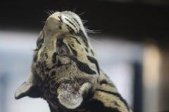 Fördunklad leopard upp höjdpunkt i filialer som ser till taket royaltyfri foto