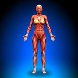 Föregående sikt - kvinnliga anatomimuskler Arkivbild