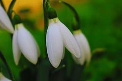 Förelöparen av våren, snödroppar blomstrade i vinter Arkivbilder
