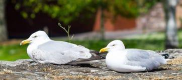 Förenade kungariket Devon Seagulls sammanträde på stenväggarna parkerar in Royaltyfri Bild