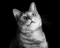 Förfärade Tabby Cat i svartvitt med gröna ögon Royaltyfri Fotografi