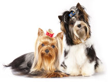 Förfölja den bäverYorkshire terrieren royaltyfria foton