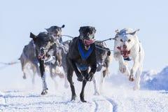 Förfölja den sledding racen Fotografering för Bildbyråer