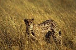 förfölja för cheetah Arkivbilder