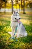 Förfölja husky siberian Höst Royaltyfria Bilder