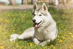 Förfölja husky ståendesiberian Hund på gräsmattan av maskrosor Royaltyfria Bilder