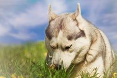 Förfölja husky ståendesiberian Hund på gräsmattan av maskrosor Royaltyfri Fotografi