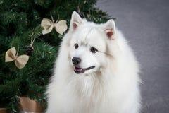 Förfölja Japansk vit spitz på julbakgrund arkivfoto