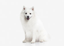 Förfölja Japansk vit spitz på vit bakgrund Royaltyfri Foto