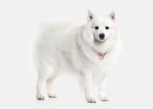 Förfölja Japansk vit spitz på vit bakgrund royaltyfri fotografi