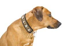 Förfölja med härliga handgjorda hundhalsband arkivbilder