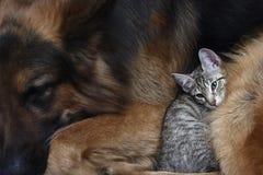 Förfölja och en katt. Arkivfoto