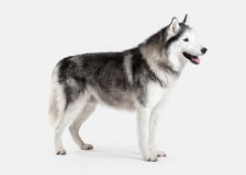 Förfölja Siberian Husky på vitbakgrund royaltyfria bilder