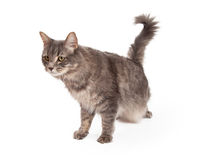 Förfölja Tabby Cat Looking For Prey Fotografering för Bildbyråer
