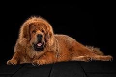 Förfölja Tibetan mastiff på svart bakgrund royaltyfri bild