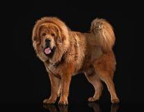 Förfölja Tibetan mastiff på svart bakgrund royaltyfri foto