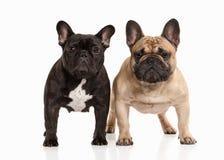 Förfölja Två valpar för fransk bulldogg på vit bakgrund Royaltyfria Foton