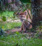 Förfölja uppförande av den Florida pantern arkivfoto