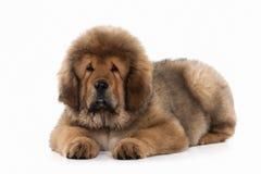 Förfölja Valp för tibetan mastiff på vit bakgrund royaltyfria foton