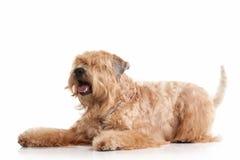 Förfölja wheaten bestruken irländsk slapp terrier Arkivbilder