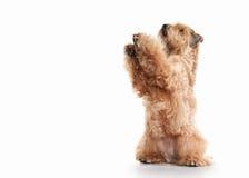 Förfölja wheaten bestruken irländsk slapp terrier Arkivfoton
