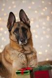 Förföljer den tyska herden för jul Royaltyfri Fotografi