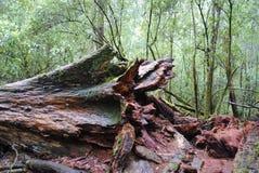 Förfalla jätten, Tasmanien Arkivbilder