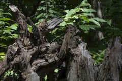 Förfalla träformer Arkivfoto