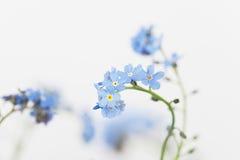 Förgätmigej blåttblomningar fotografering för bildbyråer