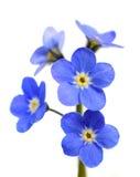 Förgätmigej Victoria Blue Flower Isolated på vit Royaltyfri Bild