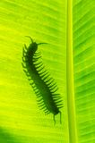 Förgifta den djura centipeden Arkivfoton